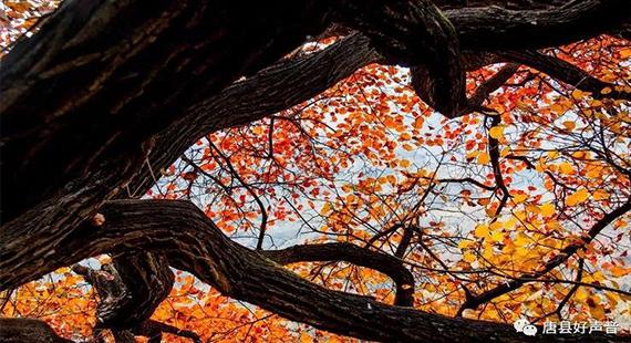 【观赏】七峪黄栌叶正红