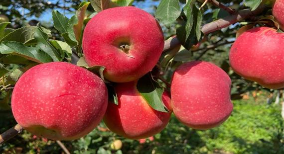 【电商直播聚力 乡村振兴发展】系列活动之三~苹果飘香迎来客 电商助农庆丰收